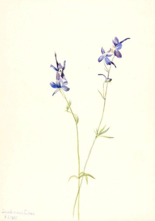 Blue Larkspur (Delphinium nuttallianum) | Mary Vaux Walcott | Oil Painting