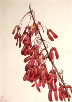 Carolina Maple (Acer carolinianum) | Mary Vaux Walcott | Oil Painting