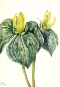 Whippoorwill Flower (Trillium hugeri)   Mary Vaux Walcott   Oil Painting