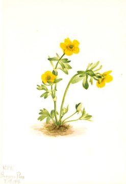 Avalanche Buttercup (Ranunculus suksdorfii) | Mary Vaux Walcott | Oil Painting