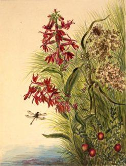 Cardinal Flower (Lobelia cardinalis)   Mary Vaux Walcott   Oil Painting