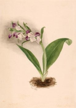 Showy Orchids (Orchis spectabilis) | Mary Vaux Walcott | Oil Painting