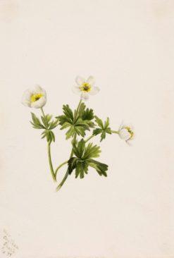 White Globeflower (Trollius albiflorus)   Mary Vaux Walcott   Oil Painting