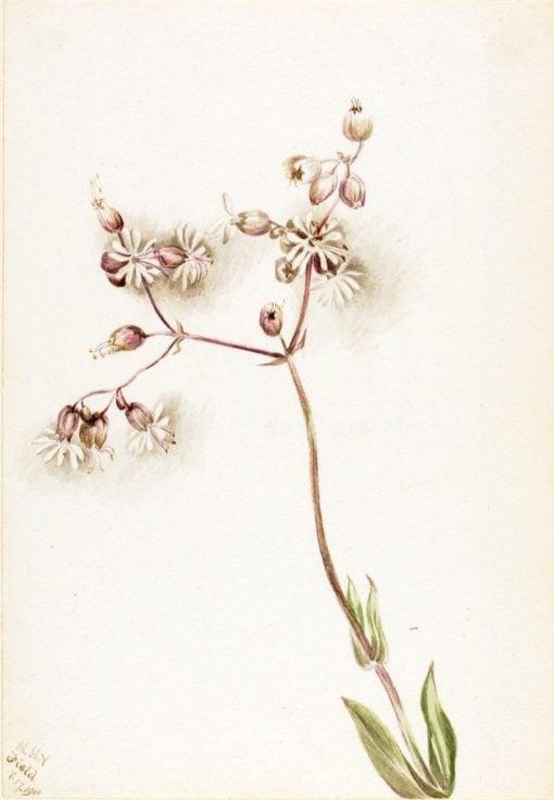 Bladder Campion (Silene latifolia)   Mary Vaux Walcott   Oil Painting