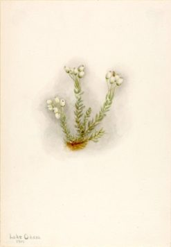 White Heather (Phyllodoce grandiflora) | Mary Vaux Walcott | Oil Painting