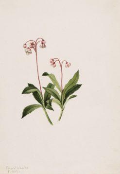 Western Pipsissewa (Chimaphila umbellata)   Mary Vaux Walcott   Oil Painting