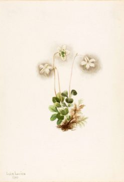 Wood-Nymph (Moneses uniflora) | Mary Vaux Walcott | Oil Painting