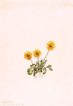 Golden Fleabane (Erigeron aureus) | Mary Vaux Walcott | Oil Painting