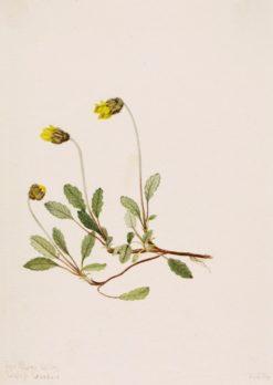 Yellow Dryad (Dryas drummondii) | Mary Vaux Walcott | Oil Painting