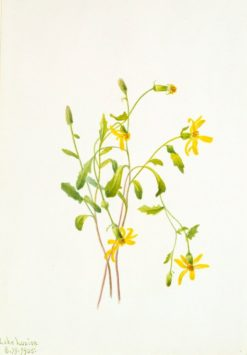 Alpine Ragwort (Senecio species) | Mary Vaux Walcott | Oil Painting