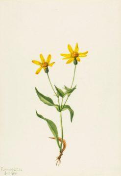 Arnica alpina | Mary Vaux Walcott | Oil Painting