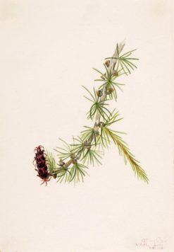 Lyall Larch (Larix lyallii) | Mary Vaux Walcott | Oil Painting