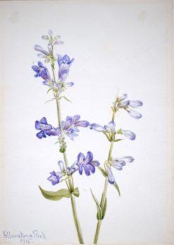 Blue Beard-Tongue (Pentstemon)   Mary Vaux Walcott   Oil Painting
