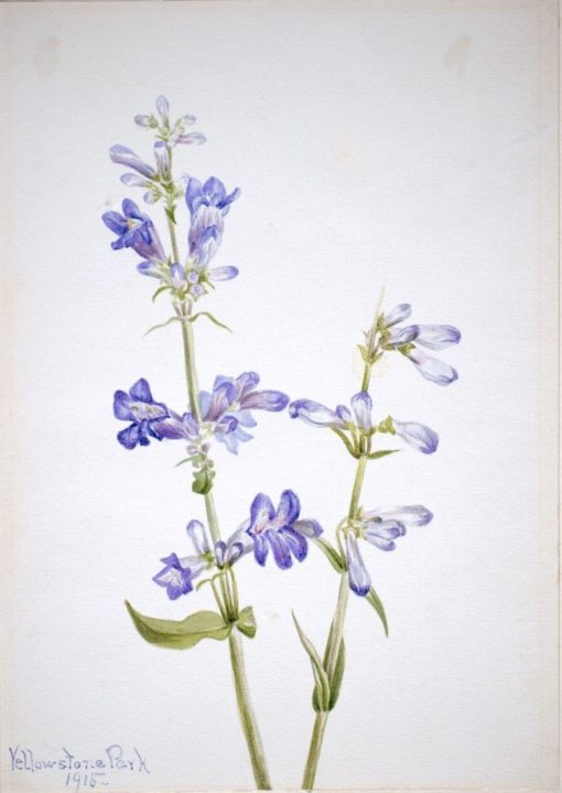 Blue Beard-Tongue (Pentstemon) | Mary Vaux Walcott | Oil Painting