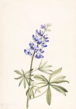 Blue Lupine (Lupinus argenteus) | Mary Vaux Walcott | Oil Painting