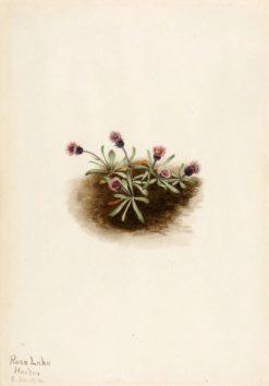 Alpine Fleabane (Erigeron unalaschcensis) | Mary Vaux Walcott | Oil Painting