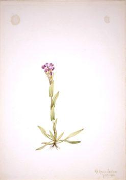 Arabis lyallii | Mary Vaux Walcott | Oil Painting
