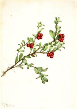 Bearberry (Arctostaphylos uva-ursi) | Mary Vaux Walcott | Oil Painting