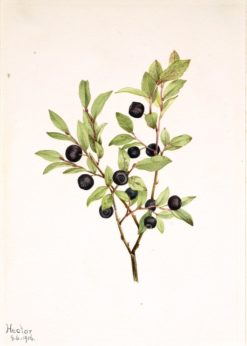 Big Whortleberry (Vaccinium membranaceum) | Mary Vaux Walcott | Oil Painting