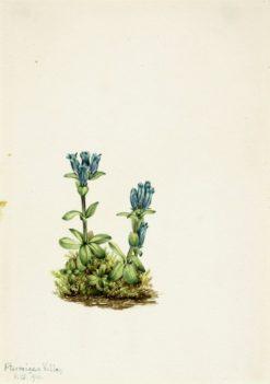 Bluegreen Gentian (Gentiana glauca) | Mary Vaux Walcott | Oil Painting