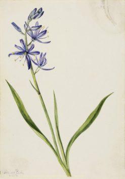 Camas (Quamasia quamash)   Mary Vaux Walcott   Oil Painting