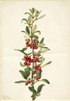 Canada Buffaloberry (Lepargyrea canadensis)   Mary Vaux Walcott   Oil Painting