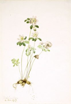Anemonella (Syndesmon thalictroides) | Mary Vaux Walcott | Oil Painting
