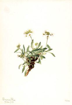 Arabis drummondii | Mary Vaux Walcott | Oil Painting