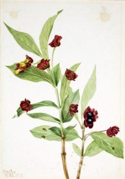 Bearberry Honeysuckle (Lonicera involucrata) | Mary Vaux Walcott | Oil Painting