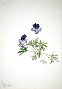Birdsfoot Violet (Viola pedata)   Mary Vaux Walcott   Oil Painting