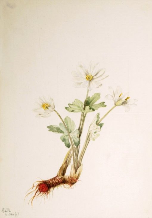 Bloodroot (Sanguinaria canadensis) | Mary Vaux Walcott | Oil Painting