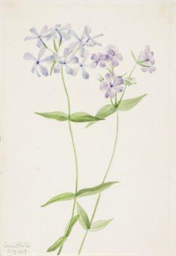 Blue Phlox (Phlox divaricata) | Mary Vaux Walcott | Oil Painting