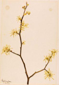Witch-Hazel (Hamamelis virginiana) | Mary Vaux Walcott | Oil Painting
