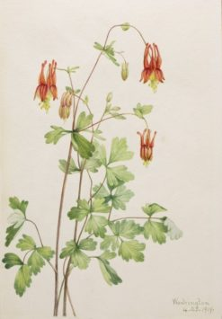 American Columbine (Aquilegia canadensis) | Mary Vaux Walcott | Oil Painting