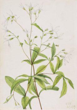 Bowmansroot (Porteranthus trifoliatus) | Mary Vaux Walcott | Oil Painting