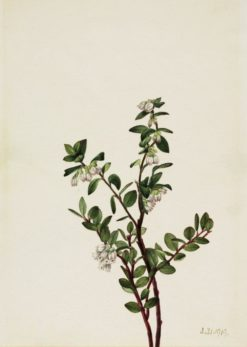 Box Huckleberry (Gaylussacia brachycera) | Mary Vaux Walcott | Oil Painting