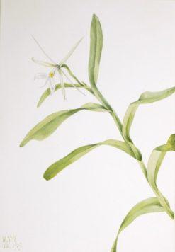 White Epidendrum (Epidendrum nocturnum)   Mary Vaux Walcott   Oil Painting