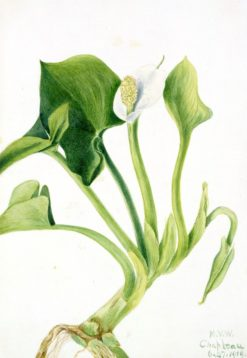 Wild Calla (Calla palustris) | Mary Vaux Walcott | Oil Painting