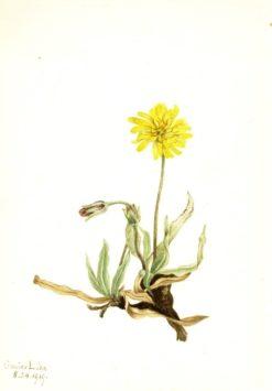 Woolly Agoseris (Agoseris villosa) | Mary Vaux Walcott | Oil Painting