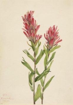 Alberta Paintbrush (Catilleja miniata) | Mary Vaux Walcott | Oil Painting