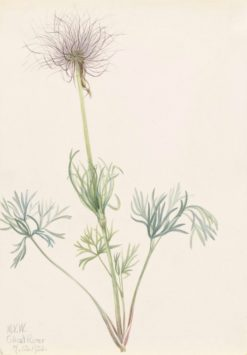 American Pasqueflower (Pulsatilla ludoviciana) | Mary Vaux Walcott | Oil Painting