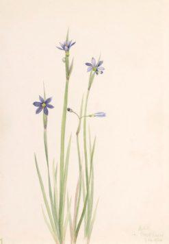 Blue-eyed-grass (Sisyrinchium angustifolium) | Mary Vaux Walcott | Oil Painting