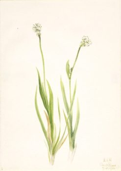 Bog-Asphodel (Tofieldia intermedia) | Mary Vaux Walcott | Oil Painting