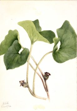 Canada Wild Ginger (Asarum canadense) | Mary Vaux Walcott | Oil Painting