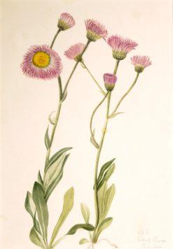Meadow Fleabane (Erigeron speciosus) | Mary Vaux Walcott | Oil Painting
