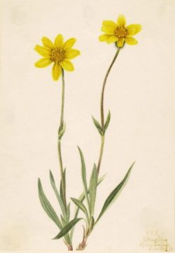 Woolly Arnica (Arnica tomentosa) | Mary Vaux Walcott | Oil Painting