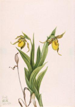 Yellow Lady's Slipper (Cypripedium parviflorum) | Mary Vaux Walcott | Oil Painting