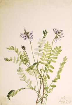 Alpine Milkvetch (Astragalus alpinus) | Mary Vaux Walcott | Oil Painting