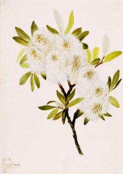 Drummond Willow (Salix drummondiana) | Mary Vaux Walcott | Oil Painting