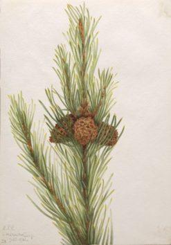 Lodgepole Pine (Pinus Contorta murrayana) | Mary Vaux Walcott | Oil Painting